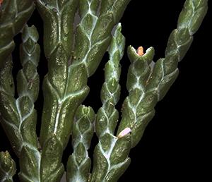 Chamaecyparis Blattunterseite