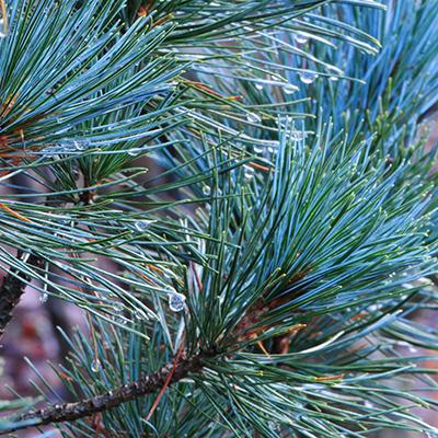 PinusPinus_cembra