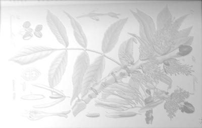 Fraxinus bg.jpg
