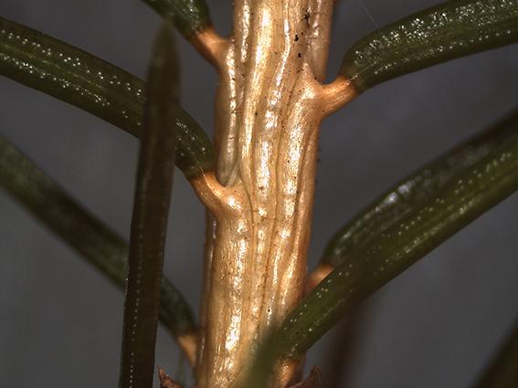 Picea-Nadelansatz