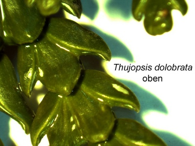 Thujopsis-oben